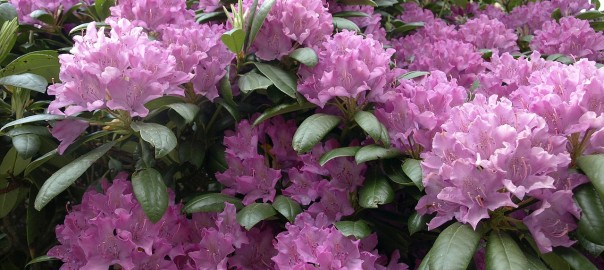 rhododendron-972356_pixaby_1280