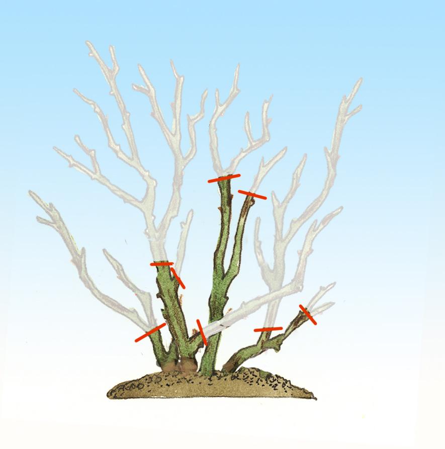 kleines 1×1 des rosenschnittes | birchmeier sprühtechnik ag