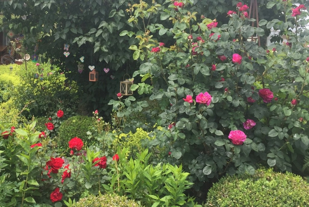 Plagegeister an Rosen